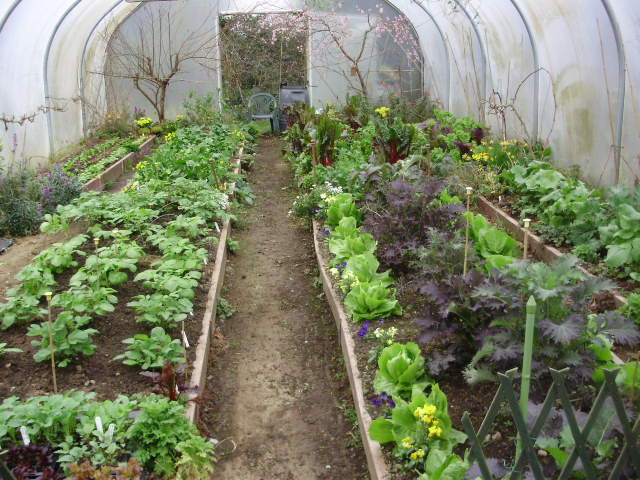 Equinox polytunnel at dawn 2 wks ago - full of good things to eat & flowers for bees.