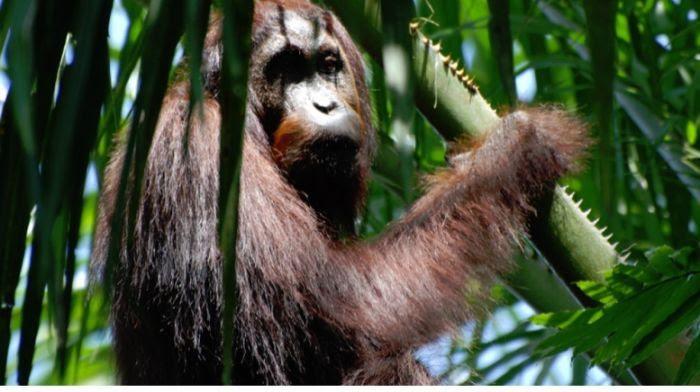 orang outang sur un palmier à huile