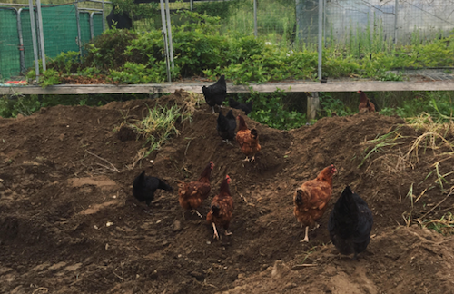 Chooks preparing ground.png