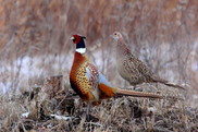 A male and female pheasant in a field.