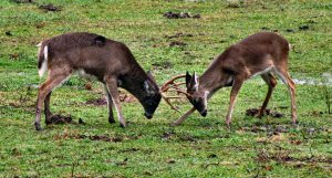 Cades-cove-deer-fighting-tn1