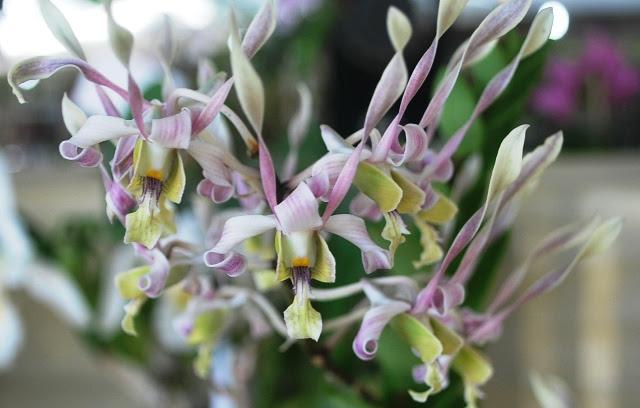 Dendrobium Caesar Sutik