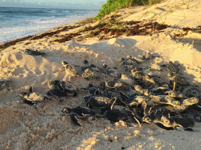 turtle emergence, hatchlings, Hope Town