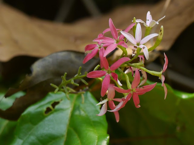 Combretum malabaricum (Bedd.) S. Ratheesh, & Anil