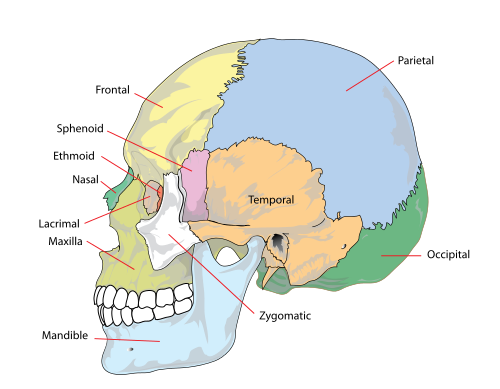 Human skull side simplified bones
