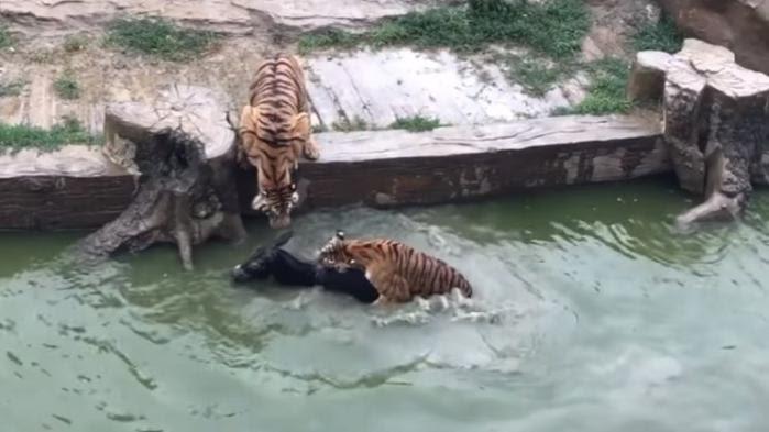 VIDEO. Chine : ils jettent un âne vivant dans la fosse aux tigres