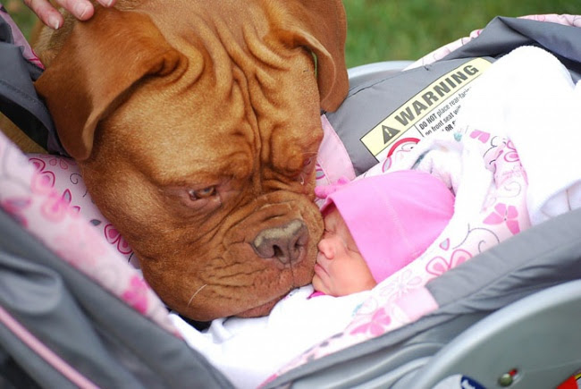 http://s.fishki.net/upload/post/201412/02/1339454/7172560-r3l8t8d-650-cute-big-dogs-and-babies-15.jpg