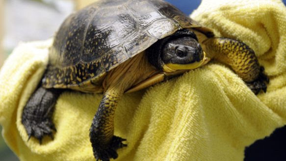 Blanding's turtle has won a temporary reprieve.
