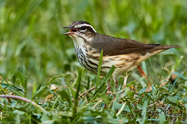 Louisiana Waterthrush, © Photo by Steve Kaye