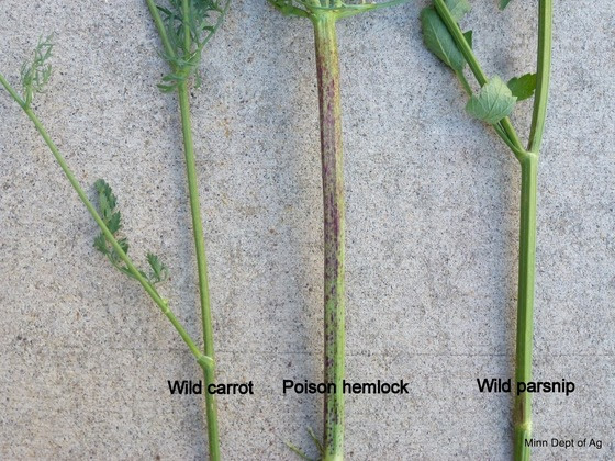 Stems of poison hemlock compared to wild carrot and wild parsnip
