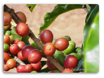 Krzak kawy