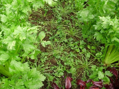 Landcress growing between celery and McGregor's Favourite beet, a decorative old Victorian variety I grow for it's phytonutrient-rich leaves in salads