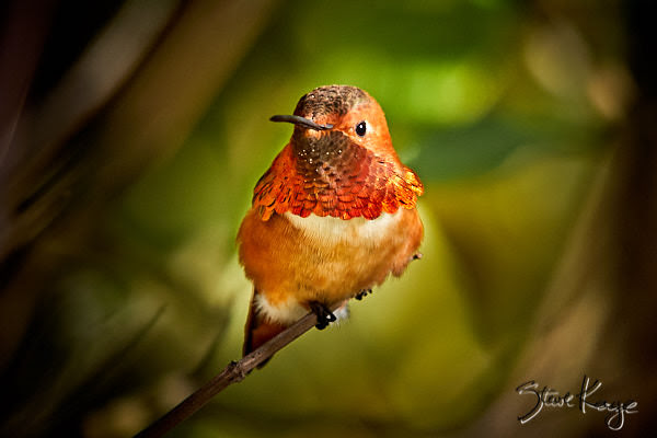 Allen's Hummingbird, Male, © Photo by Steve Kaye, in blog post: What Is Enough?