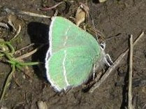 Sheridan's Green Hairstreak Photo by Sue Orlowski