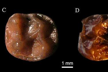 Los dientes fosilizados de Simiolus minutus, un pequeño simio que vivió en África oriental durante el Mioceno.