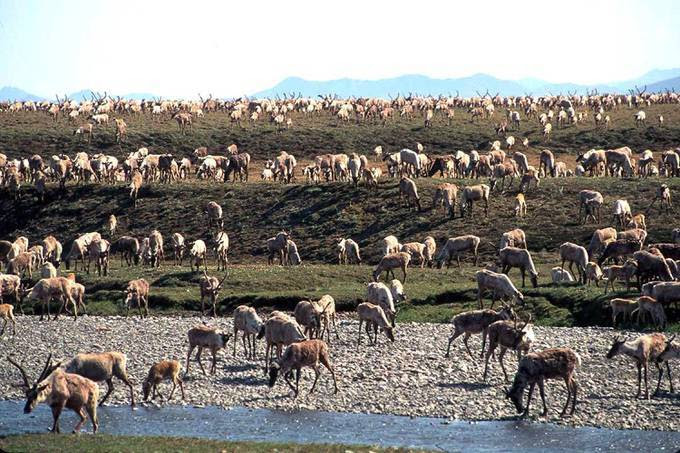 Caribou in the Arctic National Wildlife Refuge in northeast Alaska. (U.S. Fish and Wildlife Service via AP)