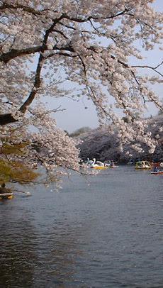 Blossom_inokashira