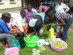Photo_6_sorting_guava_fruit