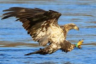 Eagles (1)