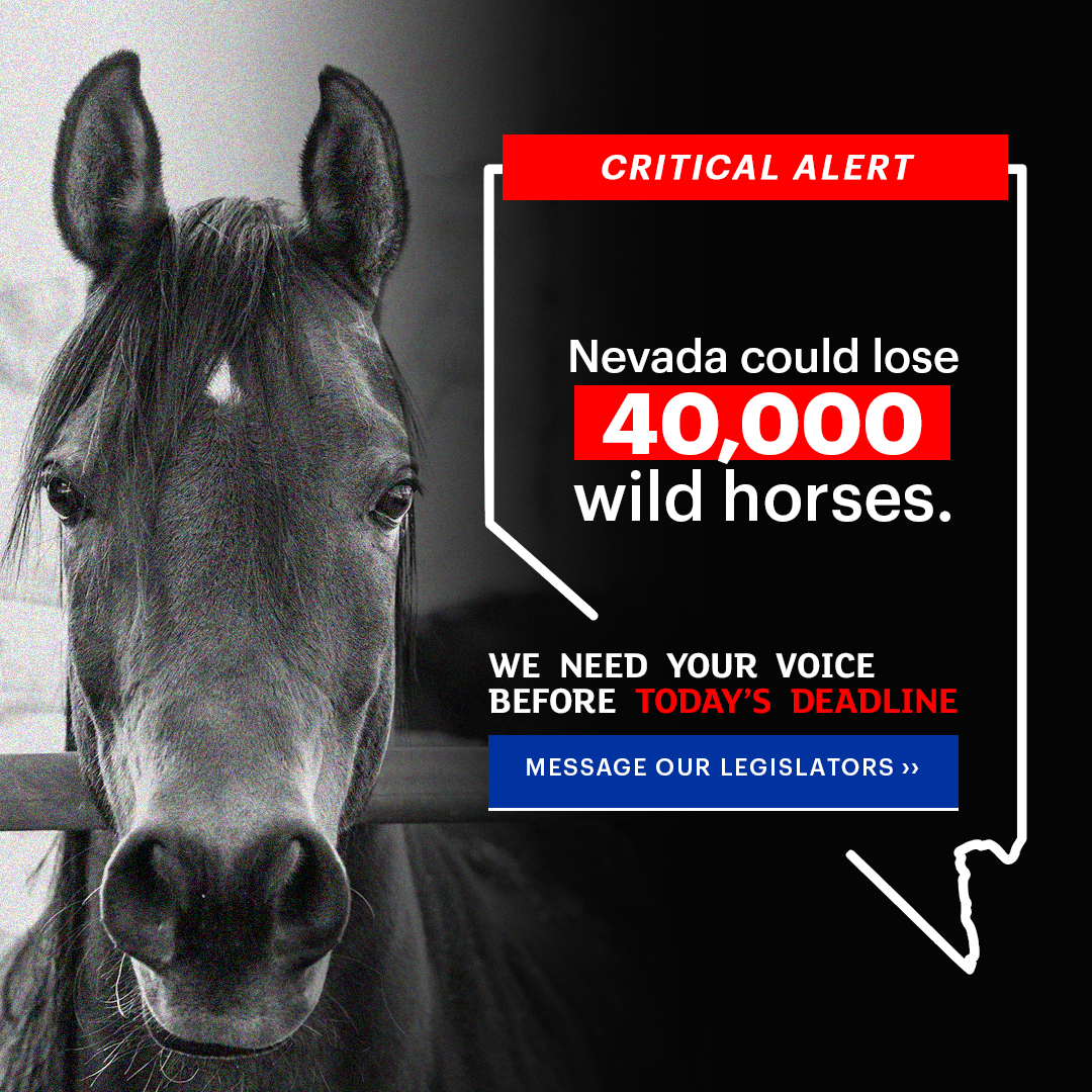 Nevada could lose 40,000 wild horses if you don't act now!