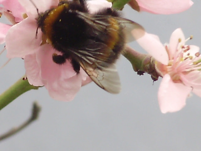 Seems a long time since spring and the bees busily pollinating the peaches - and what a crop we had again thanks to them!