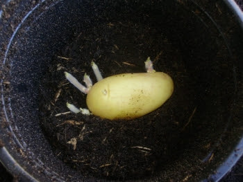 Well sprouted Annabelle being planted in a 2 litre pot for an extra early potato crop