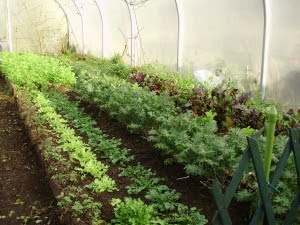 Winter salad beds in the tunnel - Endives, land cress, ragged Jack Kale, lettuce etc.