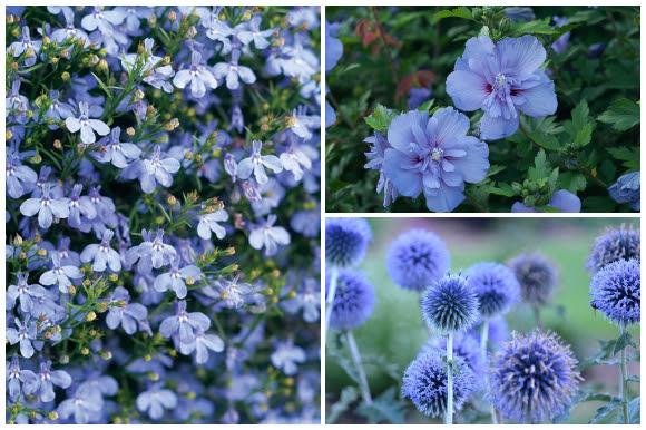 Blue flowers, lobelia, rose of Sharon, globe thistle