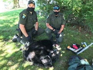the sedated bear laying on the ground in front of two kneeling ecos with mouth coverings on