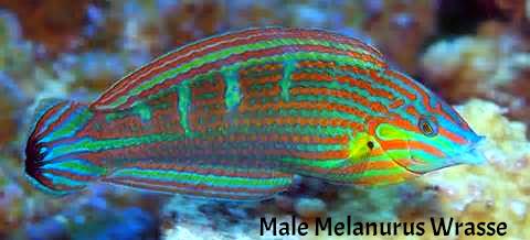 melanurus wrasse