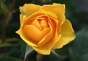 rose-yellow.jpg