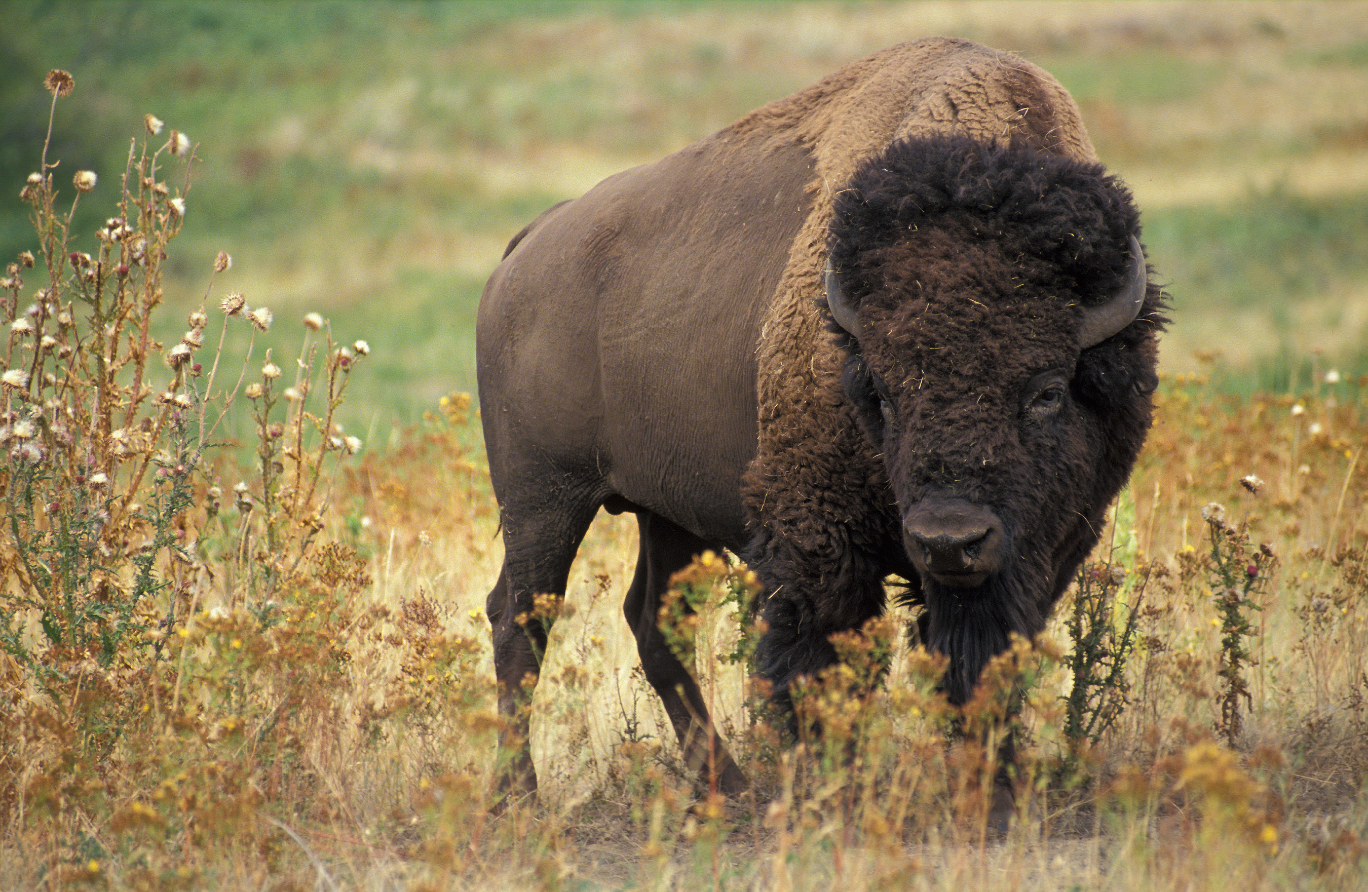 http://upload.wikimedia.org/wikipedia/commons/8/8d/American_bison_k5680-1.jpg
