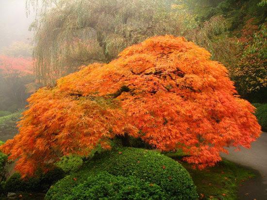 Portland, Oregon Japanese Garden – A bright orange-red lace-leaf maple