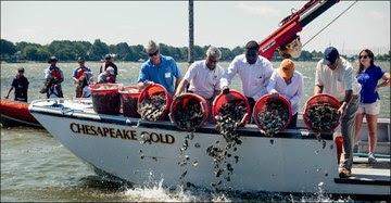 Oyster Restoration Chesapeake Bay