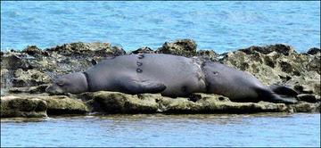 Hawaiian monk seal survivor