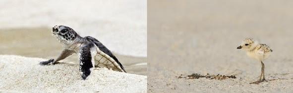 Sea Turtle and Shorebird Chick
