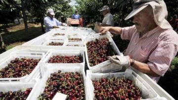 Productores frutícolas de Chile registran entre 50% y 70% menos de trabajadores para sus faenas en huertos o instalaciones