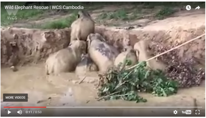 Wild Elephant Rescue video