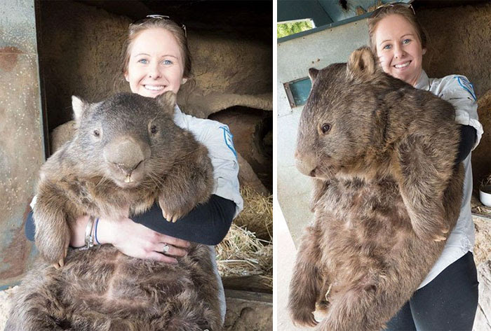 A Full Grown Wombat