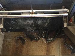 Fish splashing in water between gate and metal examination chute.