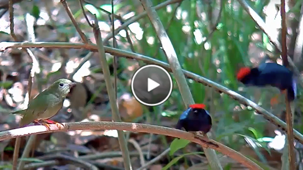 Learn about the male manakins on cam.