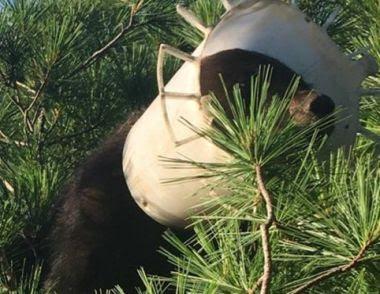 Bear in tree with plastic bucket on head