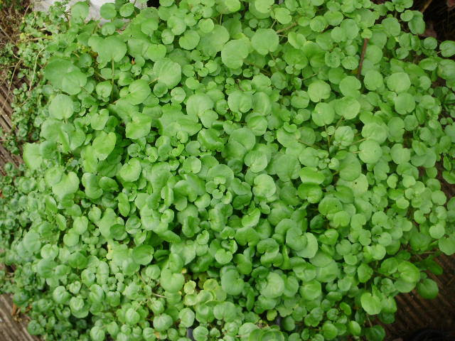 Watercress will give you lots of lush leaves palnted in a large tub