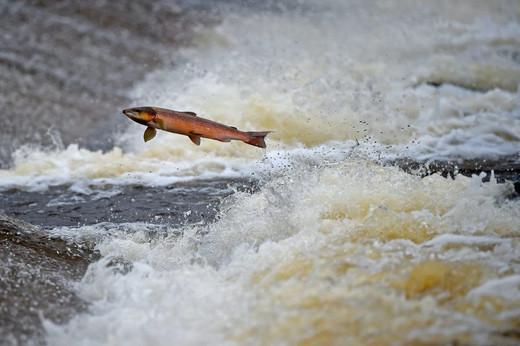 Salmon are being killed by tire dust